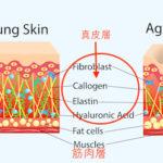 真皮層 届く 効果 浸透 成分 化粧品