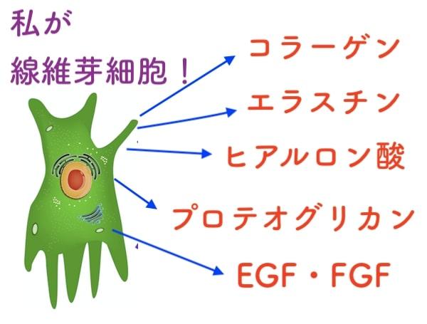 エラスチン コラーゲン ヒアルロン酸 線維芽細胞 増やす方法